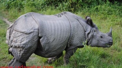 Flood-swept rhino rescued after three years
