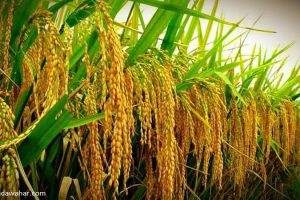Agricultural Research Directorate Khajura starts production of hybrid paddy seed